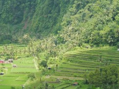 de beroemde rijstvelden