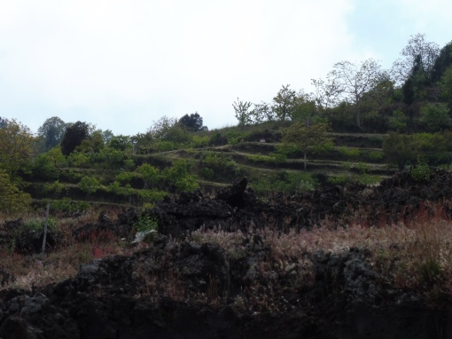 de lekkere Etna druif